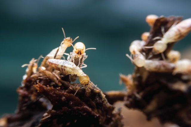 deshacerse-de-las-termitas-2